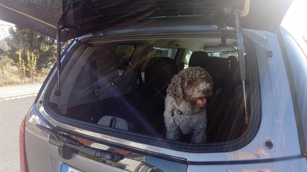 hund fährt im auto